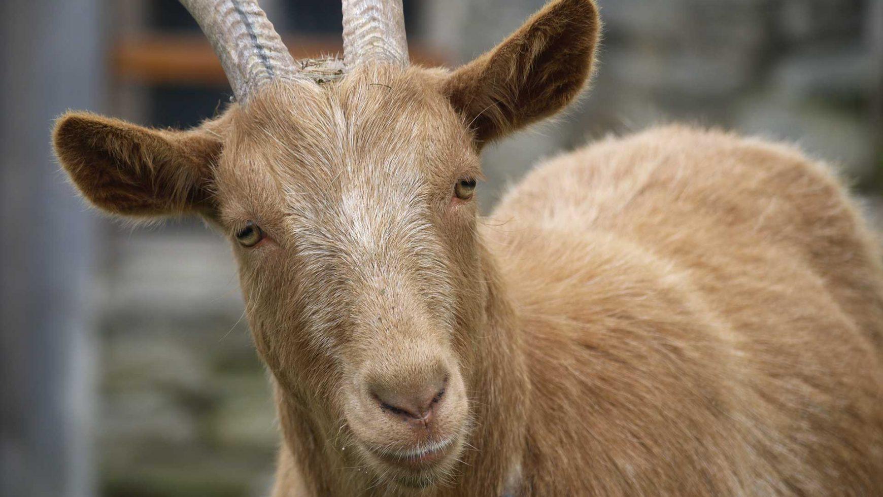 Goats! At the Minnesota Valley Wildlife Refuge